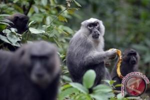 Monyet khas Sulawesi berkeliaran di jalan raya