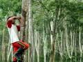 Pekerja menyadap pohon karet di kawasan perkebunan kebun karet Jawi jawi, Kecamatan Bulukumpa, Kabupaten Bulukumba, Sulawesi Selatan, Senin (20/3). Pekerja di perkebunan tersebut menyadap dan mengumpulkan getah karet selama tujuh jam per hari dengan upah Rp90 ribu hingga Rp125 ribu per hari. ANTARA FOTO/Abriawan Abhe/aww/17.