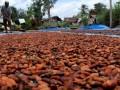 Petani menjemur biji kakao di Desa Bonto Bangun, Kecamatan Rilau Ale, Kabupaten Bulukumba, Sulawesi Selatan, Senin (20/3). Pemprov Sulsel menargetkan produksi kakao pada 2017 akan mencapai 276 ribu ton atau meningkat hampir dua kali lipat dibandingkan pada 2016 yang hanya mencapai 145.674 ton. ANTARA FOTO/Abriawan Abhe/kye/17