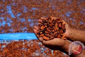 Harga Kakao Di Majene Terus Turun