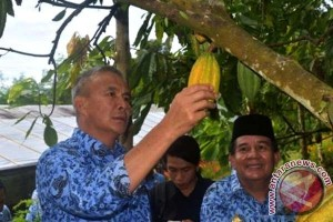 Pemprov Sulbar Siapkan 4.000 Bibit Kakao