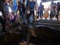 Tim Balai Pengelolaan Sumber Daya Pesisir (BPSDP) dan Laut Makassar memeriksa kondisi Penyu Hijau (Celonya Midas) hasil sitaan dari warga di Pulau Liukang Loe, Kabupaten Bulukumba, Sulawesi Selatan, Selasa (16/5). Sebanyak tujuh ekor Penyu Hijau dilepasliarkan kembali dari tempat penangkaran warga di Pulau Liukang yang selama ini dikomersilkan dan menjadikan hewan yang dilindungi tersebut sebagai daya tarik wisata. ANTARA FOTO/Dewi Fajriani/kye/17