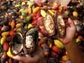 Petani membelah buah kakao yang membusuk dari pohonnya di Dasa Salupangi, Kecamatan Simboro, Mamuju, Sulawesi Barat, Jumat (11/8). Rusaknya buah kakao tersebut akibat wabah hama penggerek buah sehingga petani terancam gagal panen dan merugi. ANTARA FOTO/Akbar Tado/foc/17.