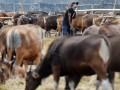 Peternak menyiapkan makanan untuk sapi ternak di Makassar, Sulawesi Selatan, Sabtu (12/8). Menjelang Hari Raya Iduladha 1438 H penjual hewan kurban mulai menjamur di Makassar. Sapi-sapi kurban yang didatangkan dari luar Kota Makassar itu dijual Rp7 juta hingga Rp30 juta per ekor. ANTARA FOTO/Yusran Uccang/kye/17