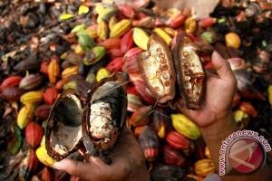 Kakao Petani Mamuju Terserang Hama
