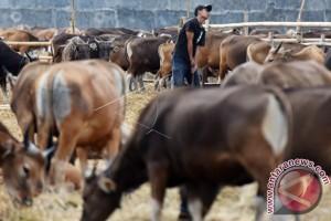 Jasindo target asuransikan 22.500 ekor sapi