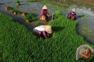 Watimpres kumpulkan data pertanian Mamuju