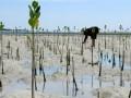 Seorang warga menanam bibit mangrove Pantai Tapalang Barat, Mamuju, Sulawesi Barat, Minggu (10/9). Penanaman mangrove tersebut bertujuan untuk mengurangi tingkat abrasi serta membentuk sabuk hijau sebagai benteng alam pada perkampungan di daerah tersebut. ANTARA FOTO/Akbar Tado/pd/17.