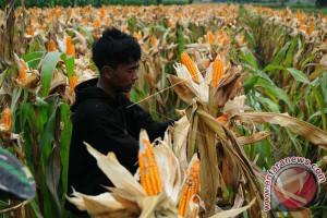 DPTPH Lampung Belajar Pengembangan Jagung Di Sulsel