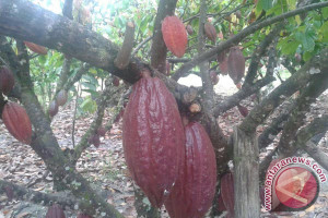 PT Mars Lahirkan 103 Kakao Jenis Baru