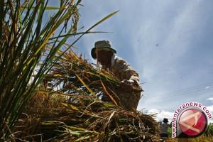 Nilai tukar petani Sulbar turun 0,52 persen