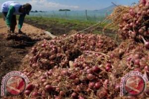 Kodim Majene panen bawang merah bersama petani