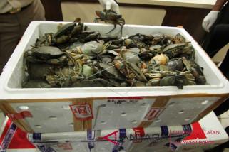 BKIPM Makassar melepasliarkan 2.490 kepiting