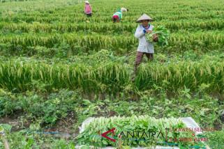 NTP petani Sulbar turun 1,02 persen