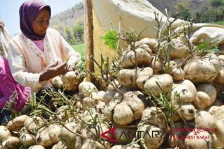 Sulsel target pengembangan 5.000 hektare biji bengkoang
