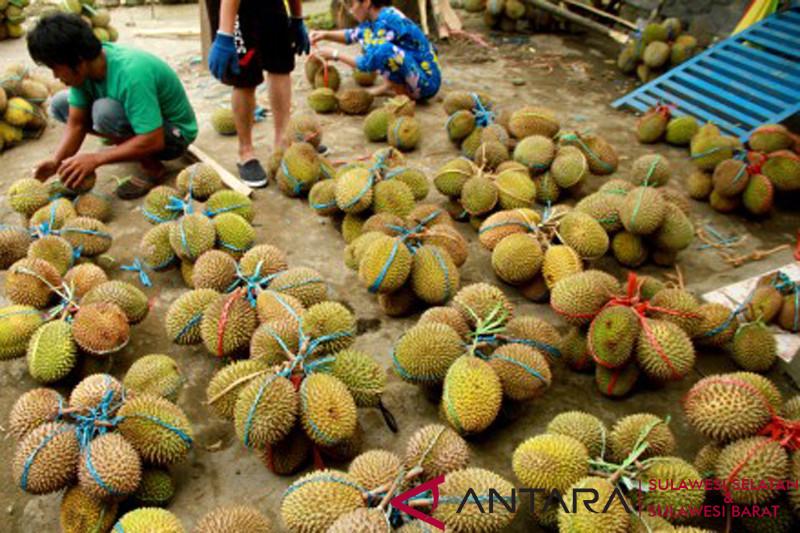 Panen raya buah durian di Mamuju