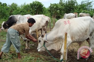 Pemprov Sulut sumbang 30 ekor sapi kurban