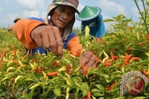 Distanak Minahasa Tenggara Programkan Pendampingan Petani Cabai