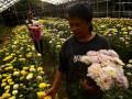 Petani membawa hasil panen di kebun bunga miliknya di Tomohon, Sulawesi Utara, Minggu (6/8). Beragam warna bunga Krisan (Chrysanthymum morifolium) tersebut dijual seharga Rp 2.500 hingga Rp 3.500 per tangkai, dan telah dipasarkan ke sejumlah daerah seperti Maluku, Papua dan Batam. ANTARA FOTO/Adwit B Pramono/17.