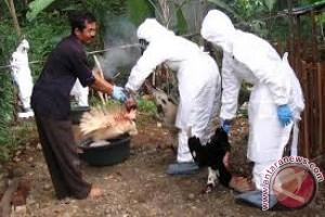 Belasan ayam warga mati terserang penyakit Ende