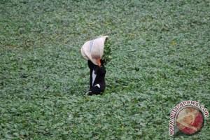 Jelang Lebaran, Harga Kangkung di Mataram Melonjak 100 Persen