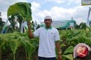 Petani Tembakau Lombok Tuntut DBHCHT Untuk Asuransi