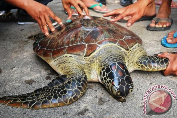 Masyarakat Lepasliarkan Penyu di Pantai Mapak Indah Mataram