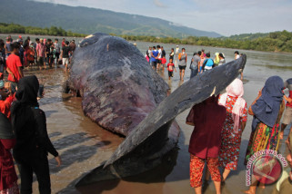bangkai paus ditenggelamkan di perairan lombok utara