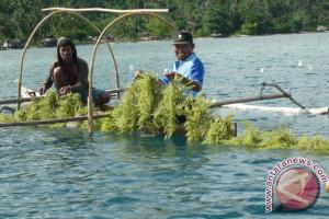 Pengelolaan rumput laut di NTT baru 15 persen