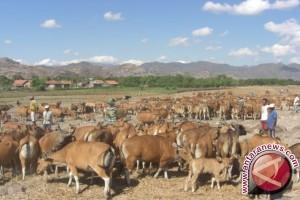 Populasi Ternak Sapi Mencapai 1,3 Juta Ekor