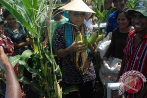 Luas Tanam Jagung Capai 318.000 Hektare