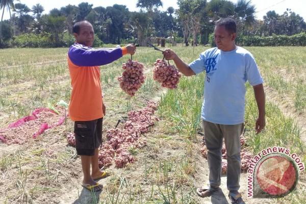 NTT Ekspor Bawang Merah ke Timor Leste