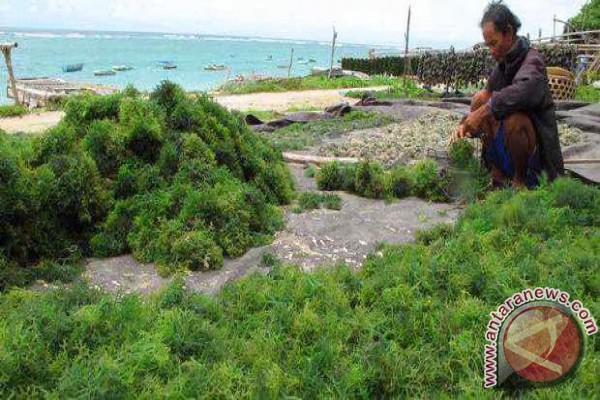 DKP Rampungkan Desain Pengembangan Rumput Laut
