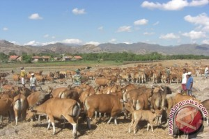 Cegah pencurian ternak di Sumba dengan Microchip