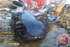 Seekor Paus Terdampar di Pulau Rote