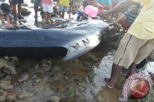 Whale Washes Ashore On Rote Beach