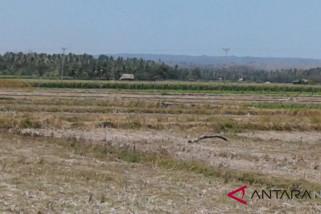 Petani Oesao kesulitan menanam akibat kekeringan