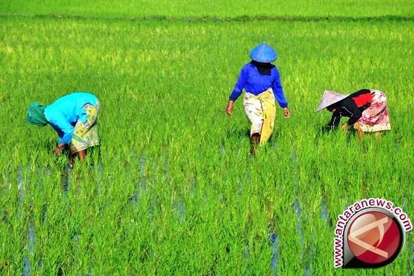 DTPH: ekspor beras Merauke justru menguntungkan petani