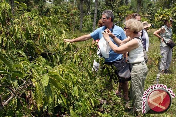 Tanaman kopi di dataran tinggi Mimika, Papua (Foto: Antara News)