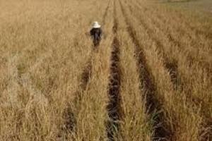 Puluhan hektare sawah di Merauke dilanda kekeringan