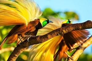 LMA minta pejabat Papua selamatkan burung Cenderawasih