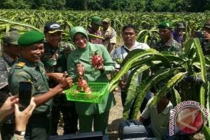 Pemkab Keerom dorong pengembangan perkebunan buah naga