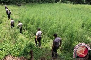 Polres Boven Digoel temukan ladang ganja di Distrik Jair