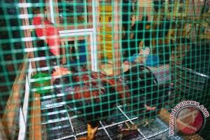 Warga Timika dilatih jadi peternak ayam kampung