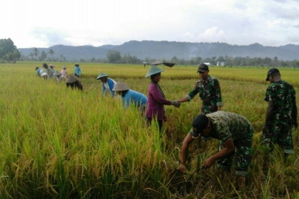 Koramil Napan bantu petani panen padi di Kampung Biha