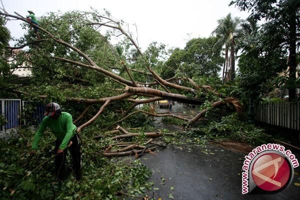 Angin ribut tumbangkan sejumlah pohon di Serui