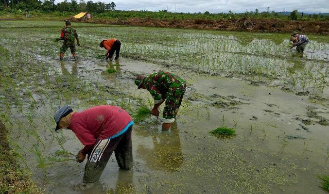 Prajurit TNI Koramil Skanto bantu petani tanam padi
