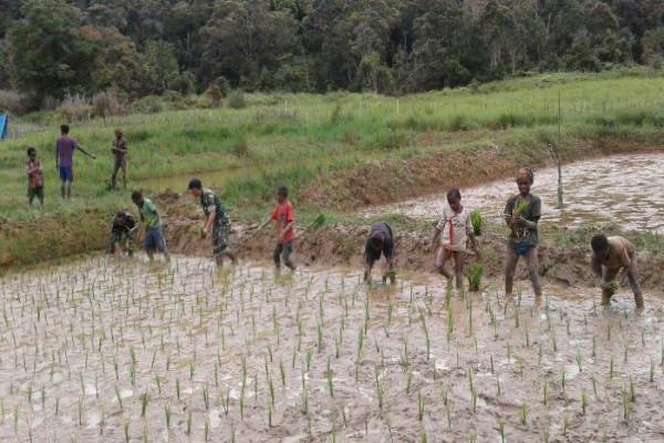 Babinsa Koramil 1705-06/Moanemani bantu petani tanam padi