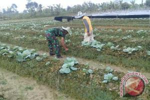 Koramil Timika dampingi petani Wonosari tingkatkan produktivitas lahan