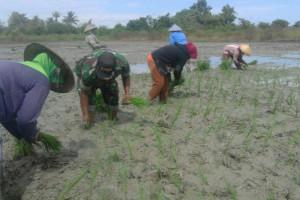 Babinsa Nabire dampingi petani Wadio tanam padi
